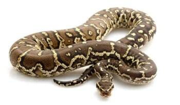 GTPs Other Pythons for Sale