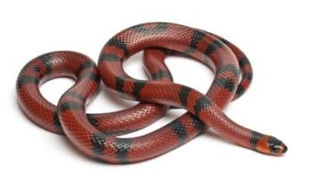 King and Milk Snakes for Sale