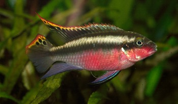 Other African Cichlids for Sale