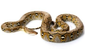 Reticulated Pythons for Sale