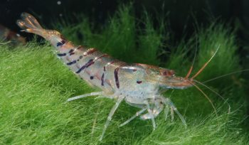 Shrimp and other Inverts for sale