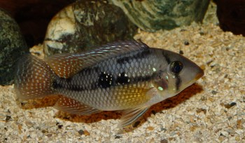 South American Cichlids for Sale