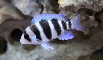 Tanganyikan Cichlids for Sale | Marp Centre | 7 Days a Week