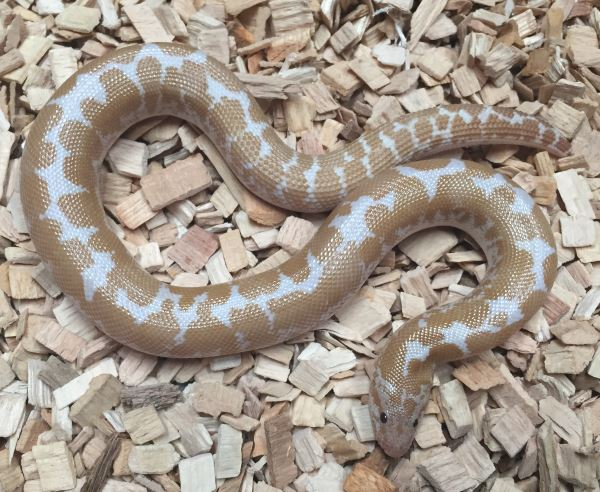 Boas for Sale | Buy a Boa Snake at Marp Centre | UK Delivery