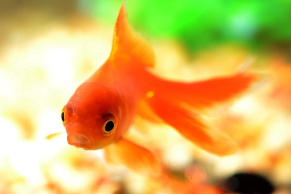 Cold water fish for sale fish accessories marp centre for The fish 95 5
